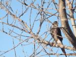 Hawk - Faucon Mâle (8 ans)