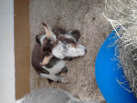 mini donkey - Âne (3 ans)