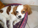 Cavalier King Charles - Abou - Chien