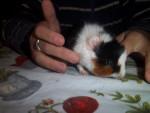 fiona - Cochon d'Inde (5 mois)