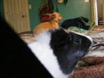 chie - Cochon d'Inde Mâle (4 mois)