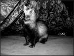 Furet Tsuky - Femelle (4 ans)