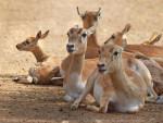 Gazelle Gazelle -  (Vient de naître)
