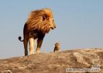 El Rey León - Lion Mâle