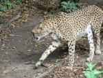 guepard - Lion