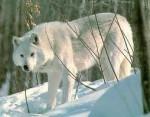 Loup neige - Mâle (2 mois)