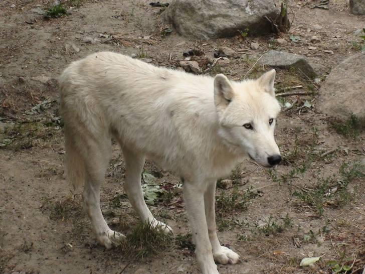 loup - Loup