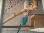 Oiseau Blu - Mâle (1 an)