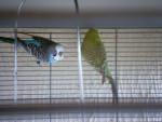 Oiseau Joey - Femelle (2 ans)