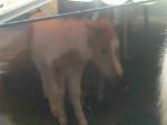 chiquitino - Poney Mâle (1 mois)