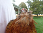 Whiskers - Poulet (6 mois)