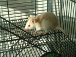 Rat Ginnie - Femelle (1 an)
